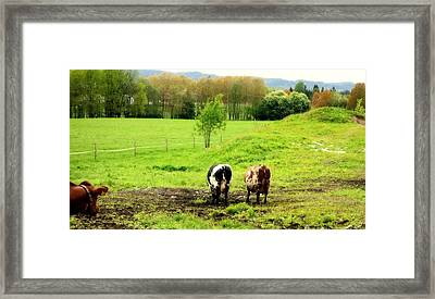 Nothing Is More Joyful Than Cows On Holiday  Framed Print by Hilde Widerberg