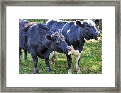 Cows Sticking Out Tongues Framed Print