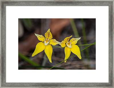 Cowslip Orchid Australia Framed Print