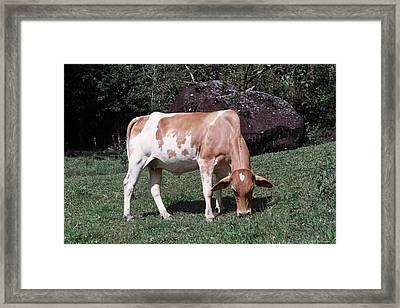 Cowtie Framed Print by David Cardona