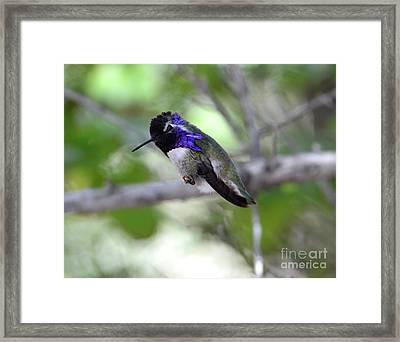 Coy Costa's Hummingbird Framed Print