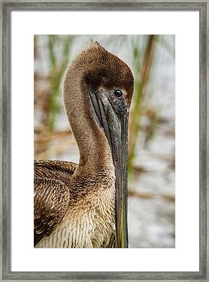 Framed Print featuring the photograph Coy Pelican by Jean Noren