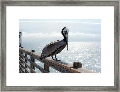 Coy Pelican Framed Print