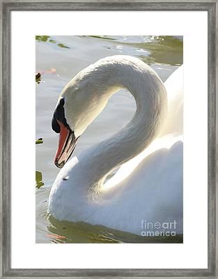 Coy Swan Framed Print