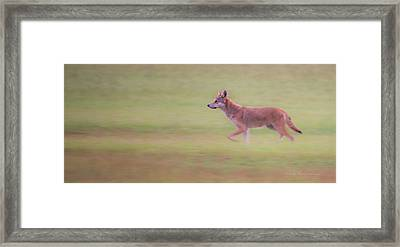 Coyote 0313 Framed Print