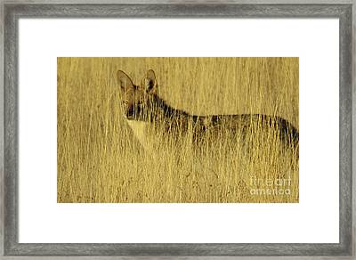 Coyote 4 Framed Print