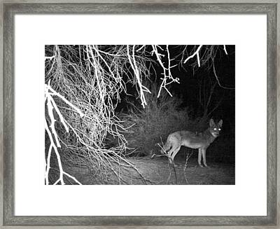 Coyote At Night Framed Print