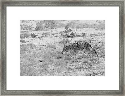 Coyote Blending In Framed Print by Christine Till