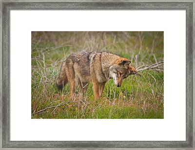 Coyote Framed Print by Carl Jackson