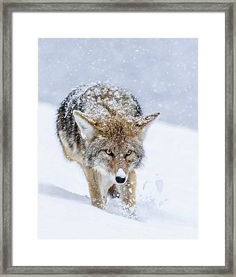 Coyote Coming Through Framed Print