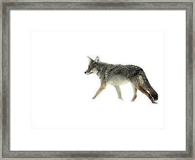 Coyote Crossing Framed Print