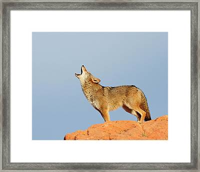 Coyote Howling Framed Print by Dennis Hammer