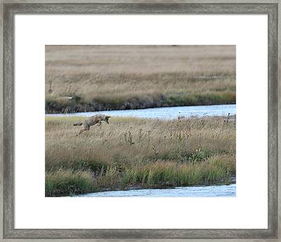 Coyote Hunting In Grass Framed Print by Photo by James Keith