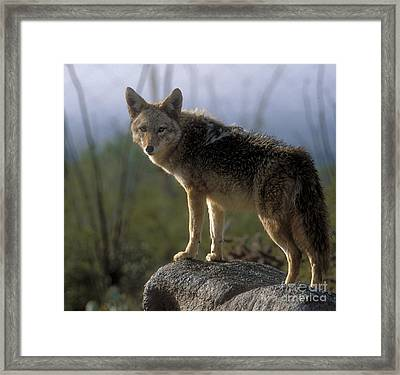 Coyote In Ocotillo Trees Framed Print by Sandra Bronstein