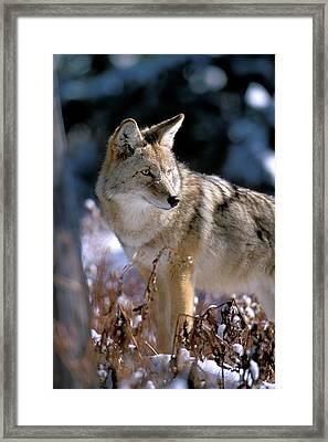 Coyote In Winter Light Framed Print