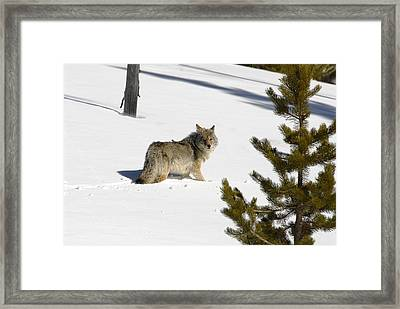 Coyote In Winter Framed Print