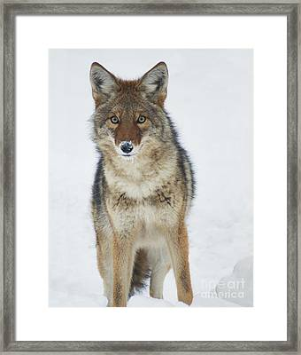 Coyote Looking At Me Framed Print by Stanza Widen