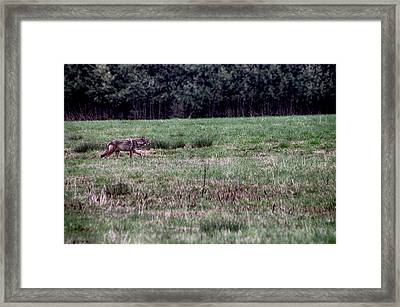 Framed Print featuring the photograph Coyote On The Prowl by Bruce Patrick Smith