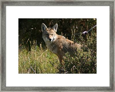 Framed Print featuring the photograph Coyote Resting by Perspective Imagery