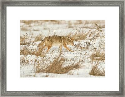 Coyote Stalk Framed Print