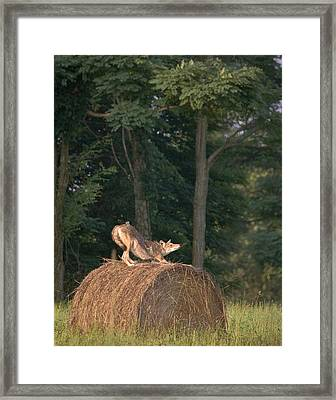Framed Print featuring the photograph Coyote Stretching On Hay Bale by Michael Dougherty