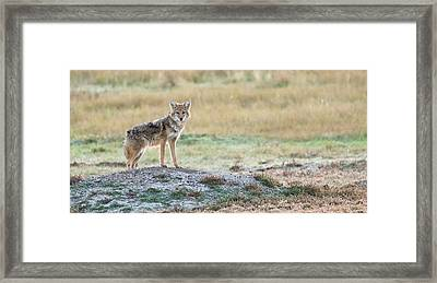Coyotee Framed Print by Kelly Marquardt