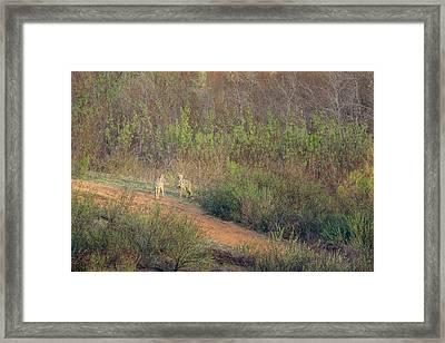 Coyotes In Morning Light Framed Print