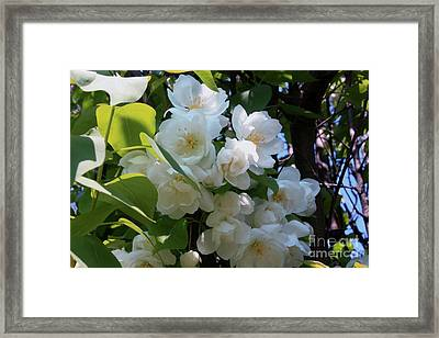 Crab Apple Blossoms 3 Framed Print by Marjorie Imbeau
