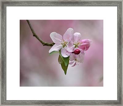 Crab Apple Blossoms Framed Print by Ann Bridges