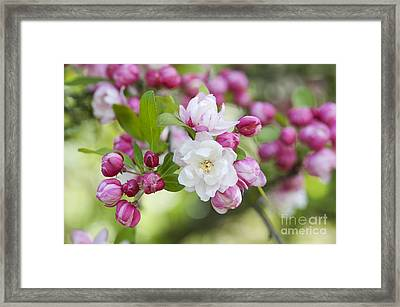 Crab Apple Snow Cloud Blossom Framed Print by Tim Gainey