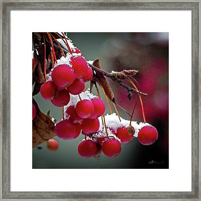 Crab Apples Snow Framed Print
