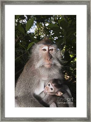 Crab-eating Macaque And Baby Framed Print