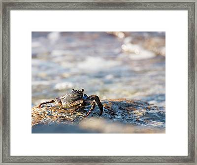 Crab Looking For Food Framed Print