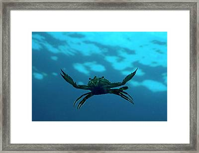 Crab Swimming In The Blue Water Framed Print by Sami Sarkis