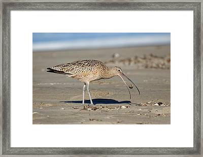 Crab Toss - Curlew Framed Print
