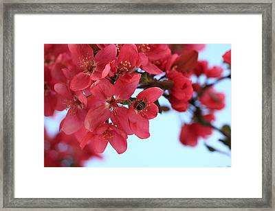 Framed Print featuring the photograph Crabapple Bees by Rick Morgan