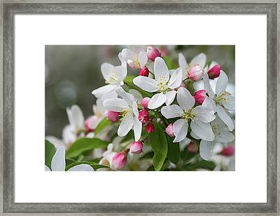 Crabapple Blossoms 12 - Framed Print