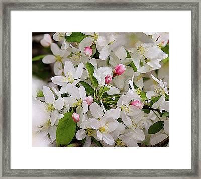 Crabapple Blossoms 5 Framed Print