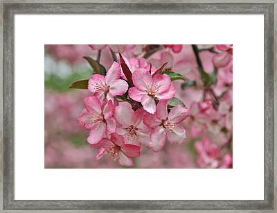 Crabapple Blossoms Framed Print by Gerald Hiam