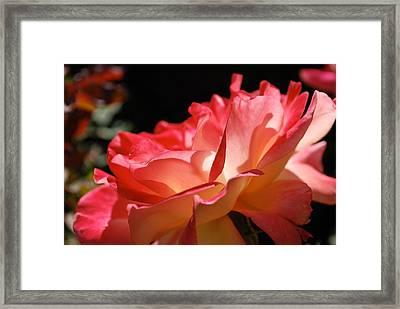 Cracklin' Rose Framed Print