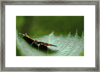 Cradled Painted Lady Framed Print by Debbie Oppermann