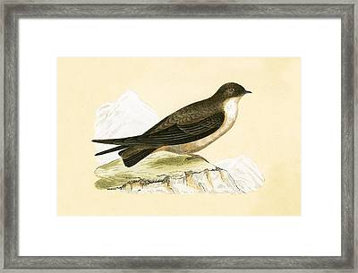 Crag Swallow Framed Print by English School