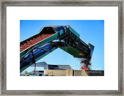Cranberry Conveyor Framed Print