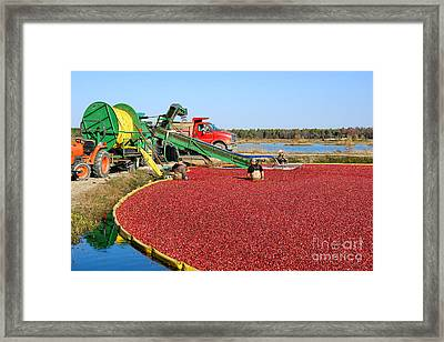 Cranberry Farming Framed Print