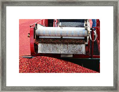 Cranberry Harvest Framed Print by Andrew Pacheco