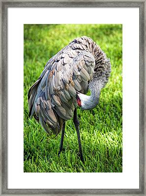 Crane Down Under Framed Print