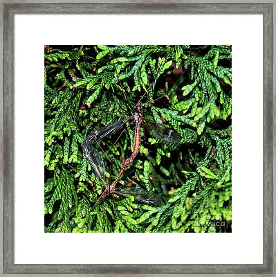 Crane Flies Caught In The Act Framed Print