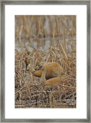 Crane On The Nest Framed Print by Natural Focal Point Photography