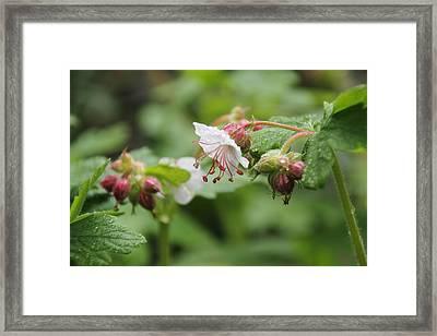 Cranesbill Raindrops Framed Print