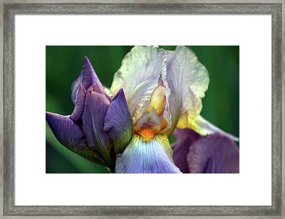 Cream And Purple Bearded Iris With Bud 0065 H_2 Framed Print